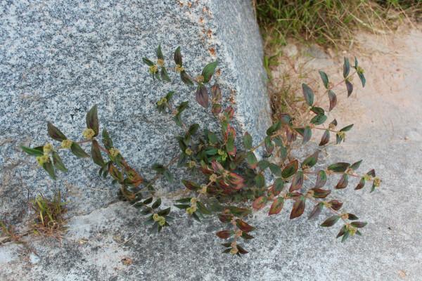 从山脚到山顶 大戟科植物