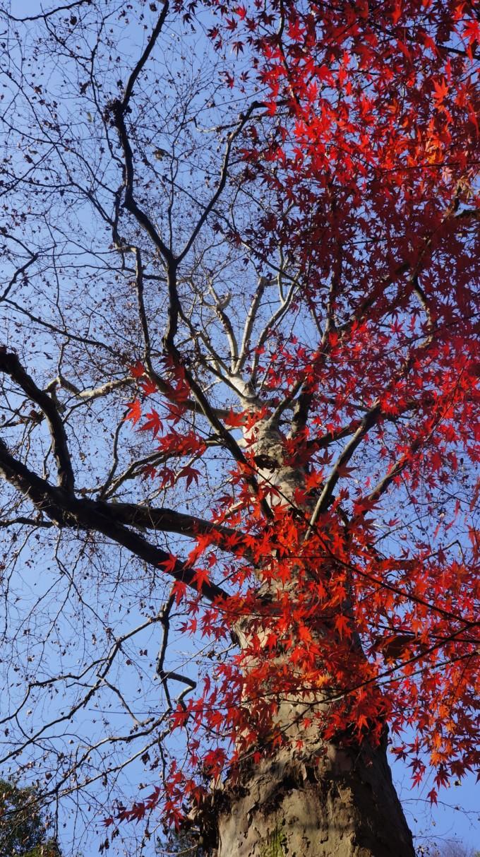 杭州九溪风景区枫叶