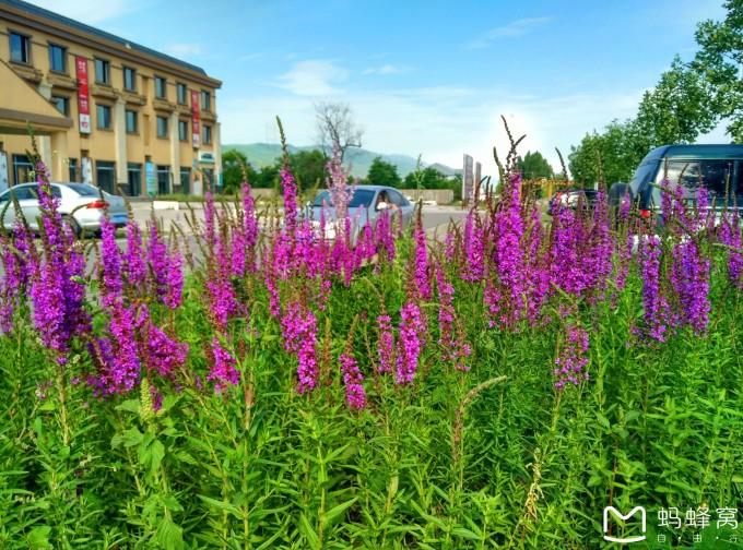 成片的紫花圆苞鼠尾草